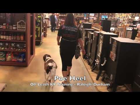 "Poe 1.5yo Brittany Spaniel ""Poe"" Before and After - Dog Training Raleigh Durham"