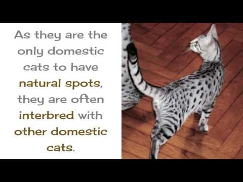 12 Amazing Things You Should Know About Egyptian Mau