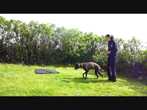 Training young Sighthounds