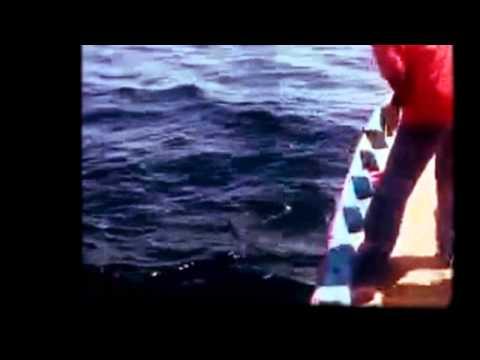 Mancing mania Mantap, ikan raksasa terbesar