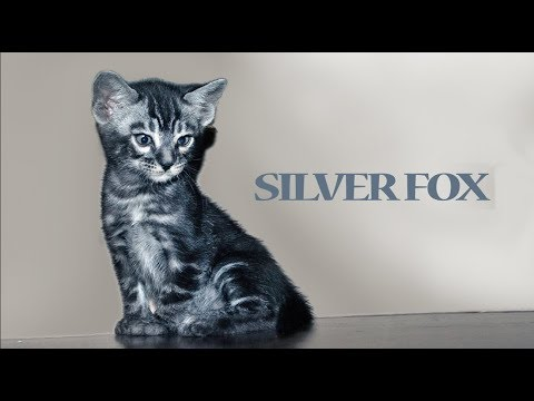 Silver Fox bengal marbled male kitten for sale from our Cattery