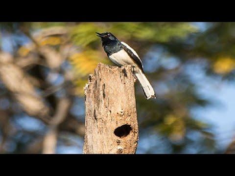 Panen anak burung kacer di alam liar di lokasi yang sulit