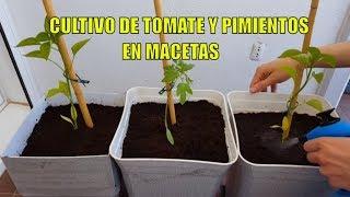Cultivo De Tomates Y Pimientos En Macetas Huerto Urbano Cultivo Paso A Paso Youtube