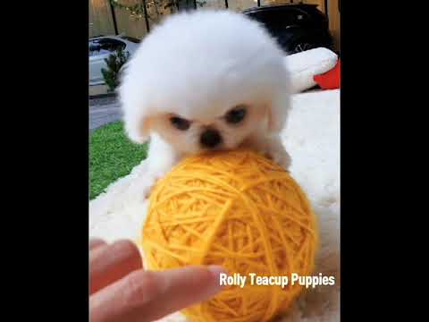 New puppies from Rolly Teacup Puppies! - YouTube