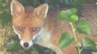 The Belsize Fox
