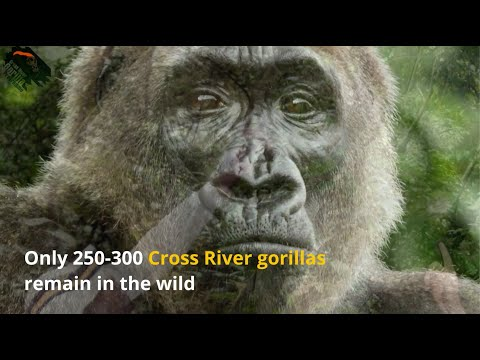 Help protect Cross River gorillas in times of violent conflict in Cameroon