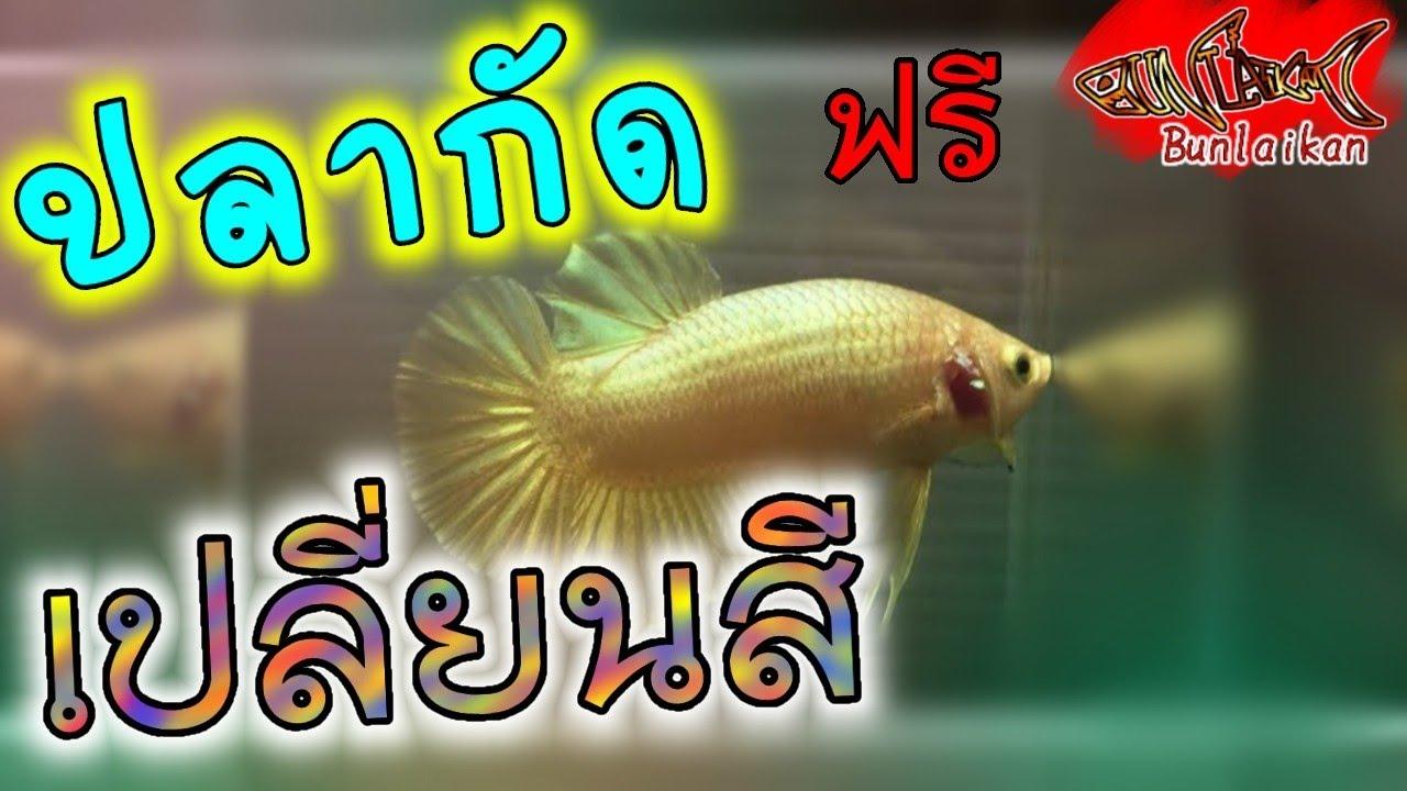 มือใหม่เลี้ยงปลากัด #3 | ของฟรีก็มี...บ้าง ปลากัดสีทองที่สาบสูญ | ปลาสวยงาม | Bunlaikan-บรรลัยกัล