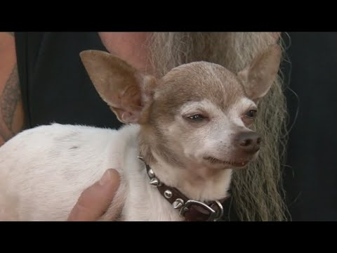 chihuahua-takes-on-coyote