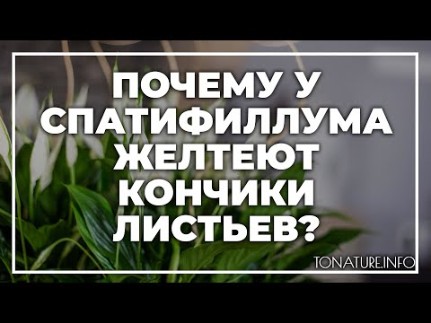 Почему у спатифиллума желтеют кончики листьев дома? | toNature.Info