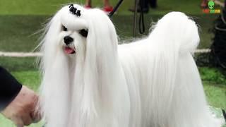 10 Giống Chó Nhỏ Nhất và Cực Hiếm Trên Thế Giới Aİ Cũng Muốn Nuôi