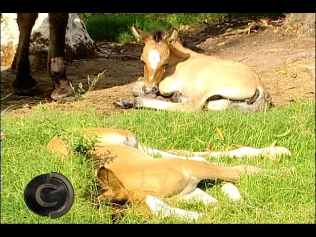 Ao invés de um, vieram dois! Égua tem gêmeos para surpresa do criador.