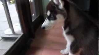 Cute Puppies Playing! (siberian Husky & Pomeranian)
