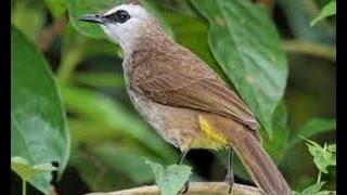 Suara Nyanyian Ocehan Kicauan Burung Ropel TRUCUKAN untuk Masteran CUCAKROWO