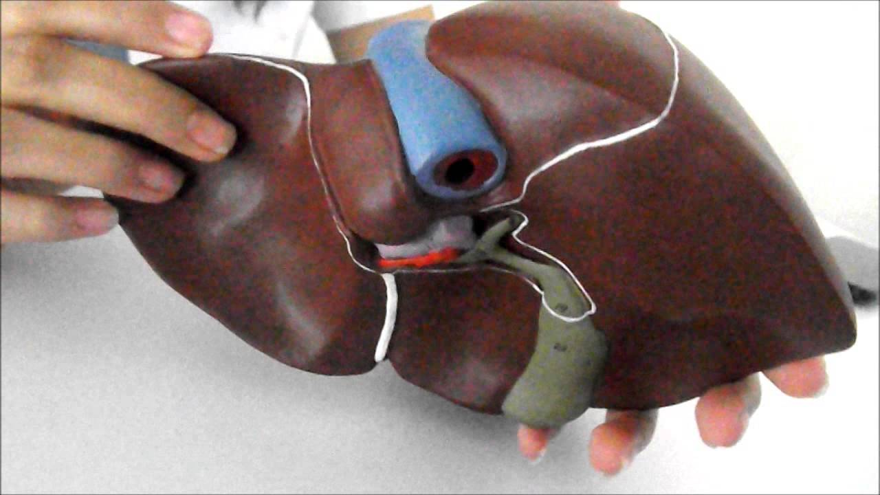 Hígado, Vesícula Biliar y Páncreas. - YouTube