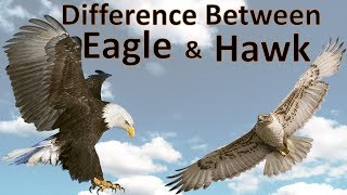 Difference Between Eagle and Hawk   Hawk vs Eagle   Comparison