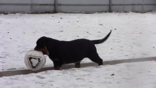 Купить щенка Ротвейлера Ислах.ру