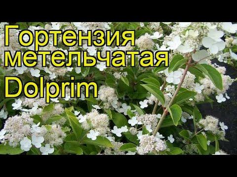 Гортензия метельчатая Долприм. Краткий обзор, описание hydrangea paniculata prim white Dolprim