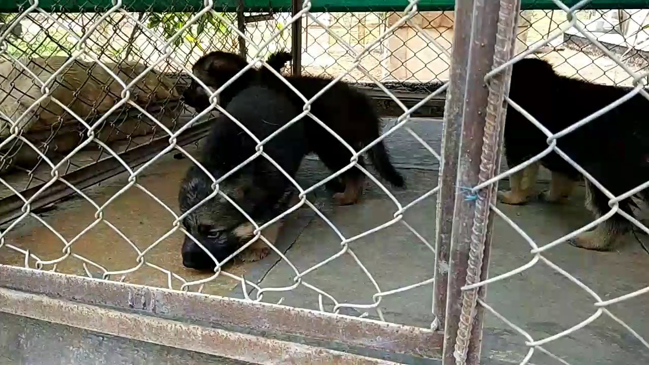 b29f9729e Show Quality German Shepherd Puppies Available For Sale - YouTube