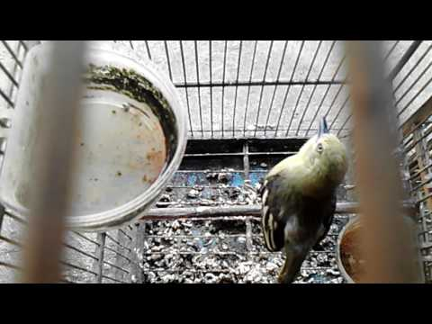 Burung sirpu sirtu cipuw gacor birahi isian cucak ijo jantan jinak lomba juara nasional