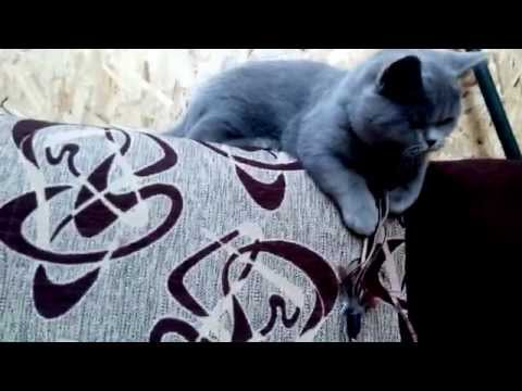 Fun with aggressive british shorthair blue cat!
