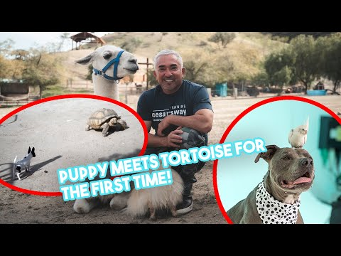 How to Introduce Your Puppy to New Animals! (feat. our tortoise, Jon!)