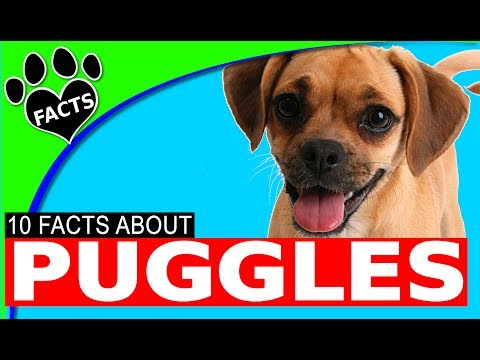Puggle Dogs 101 Facts and Information #dog #puggle