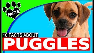 Puggle Dogs 101 Facts Information Most Popular Dog Breeds