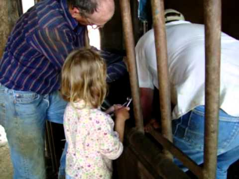 Working Calves in Kansas- Part 1