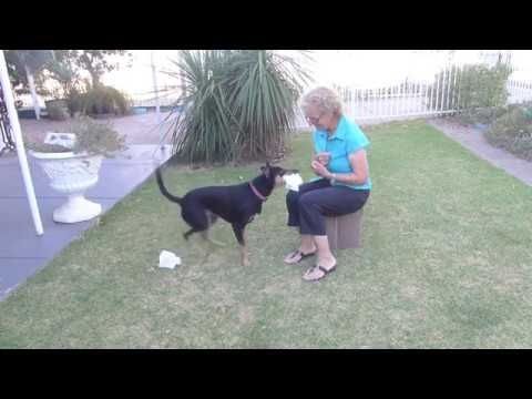 Chispa Champion Trick Dog Title Application