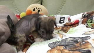 2011年3月11日生まれのチャイニーズクレステッドドッグの子犬です。 htt...