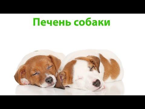 Печень собаки. Ветеринарная клиника Био-Вет