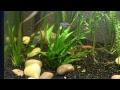 Aquarium stream, Neon tetra's recovering from Ich