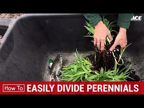 How To Easily Split and Divide Perennials - Ace Hardware