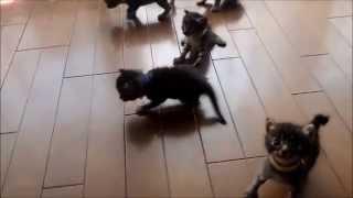 【かわいすぎる】キジトラ子猫の成長日記 生後23日目 cute kitten's