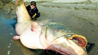 THE BIGGEST CATFISH In The World