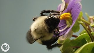 This Vibrating Bumblebee Unlocks a Flower's Hidden Treasure |  Deep Look