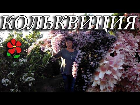Кольквиция прелестная восхитительный куст в вашем саду!