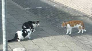 Cat fight --- katten (schijn) gevecht