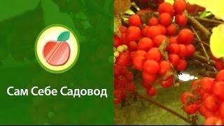 Лимонник китайский(http://samsebesaovod.ru Роман Врублевски и Евгений Федотов рассказывают о лимоннике китайском - очень полезном садово..., 2012-10-17T19:57:04.000Z)