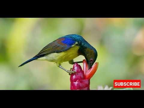 Suara Pikat Burung Wiceh / Kolibri Kelapa Ampuh By Master Pikat