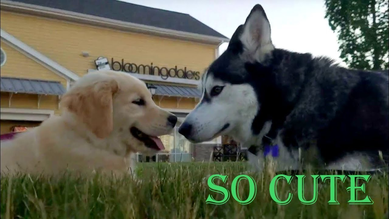 Cute Siberian Husky Chats With Adorable Golden Retriever Puppy
