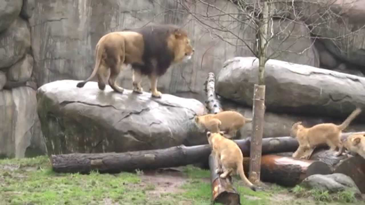 שלום פרוינד ייצא לספארי ומצא שם את שומר האריות