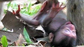 Baixar Break Heart Deeply, Just New Born Monkey Fall From The Tree Near Unconscious.