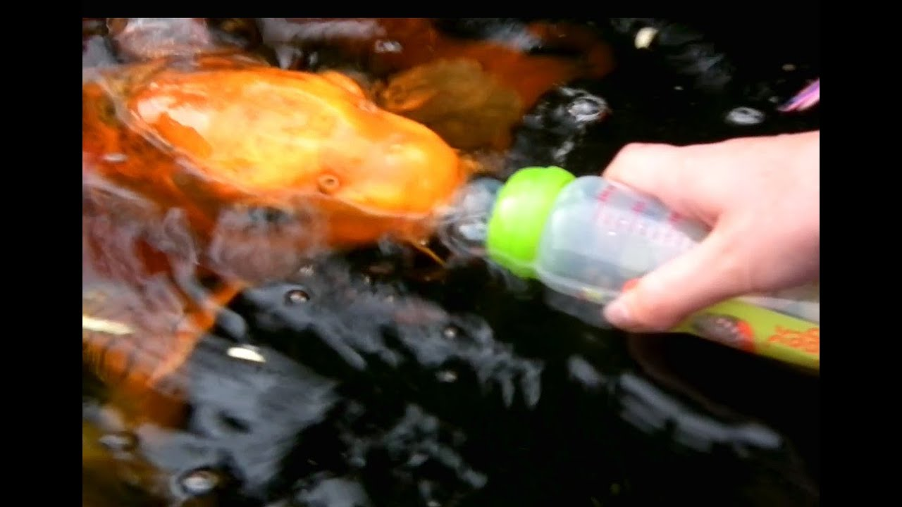 Carpes koi nourries au biberon koi fish bottle feeding for Feeding koi fish