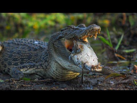 No Tears For The Crocodile