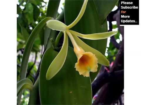 Vanilla Orchid | Orchid Breed And Tybe Identification By Picture - Flower Vanilla Orchid