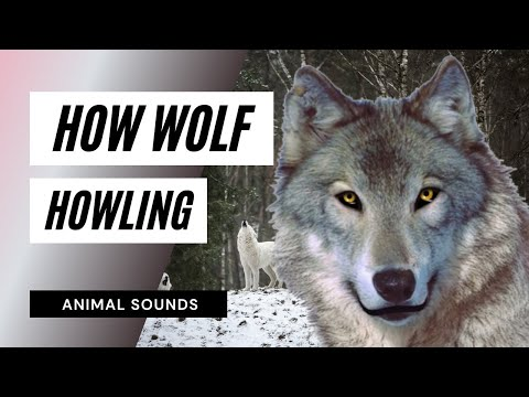 The Animal Sounds: Wolf Howl  Sound Effect  Animation