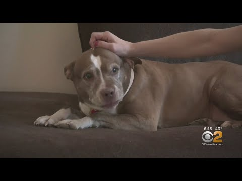 Pet Central - Sadie the 11 year old pit bull who was roaming the street with a purpose
