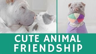Cute Animal Friendship Of Paddington (shar Pei) & Butler (cat)
