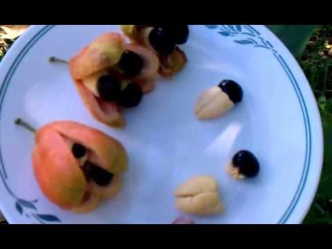 Weird Tropical Fruit- Ackee